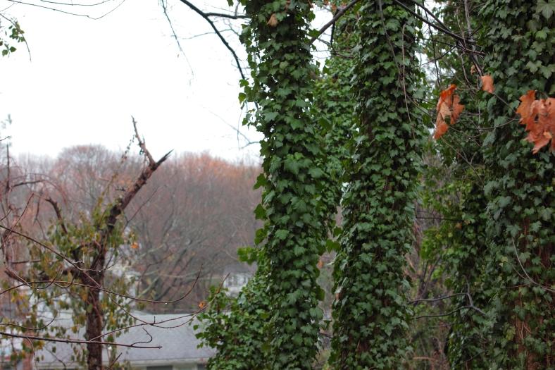 Ivy covers trees along Woodside Lane.December 8, 2012.