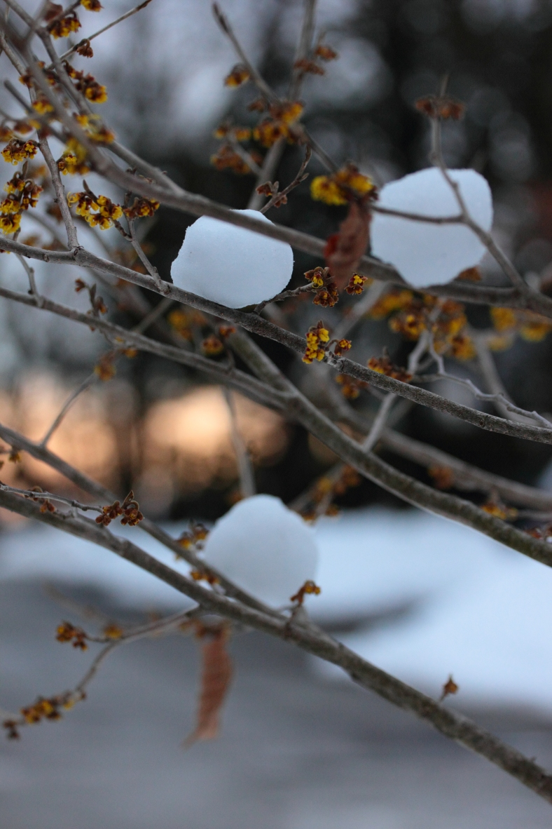 Snowballs placed in the branches of a flowering bush along Fabyan Street.February 25, 2013.