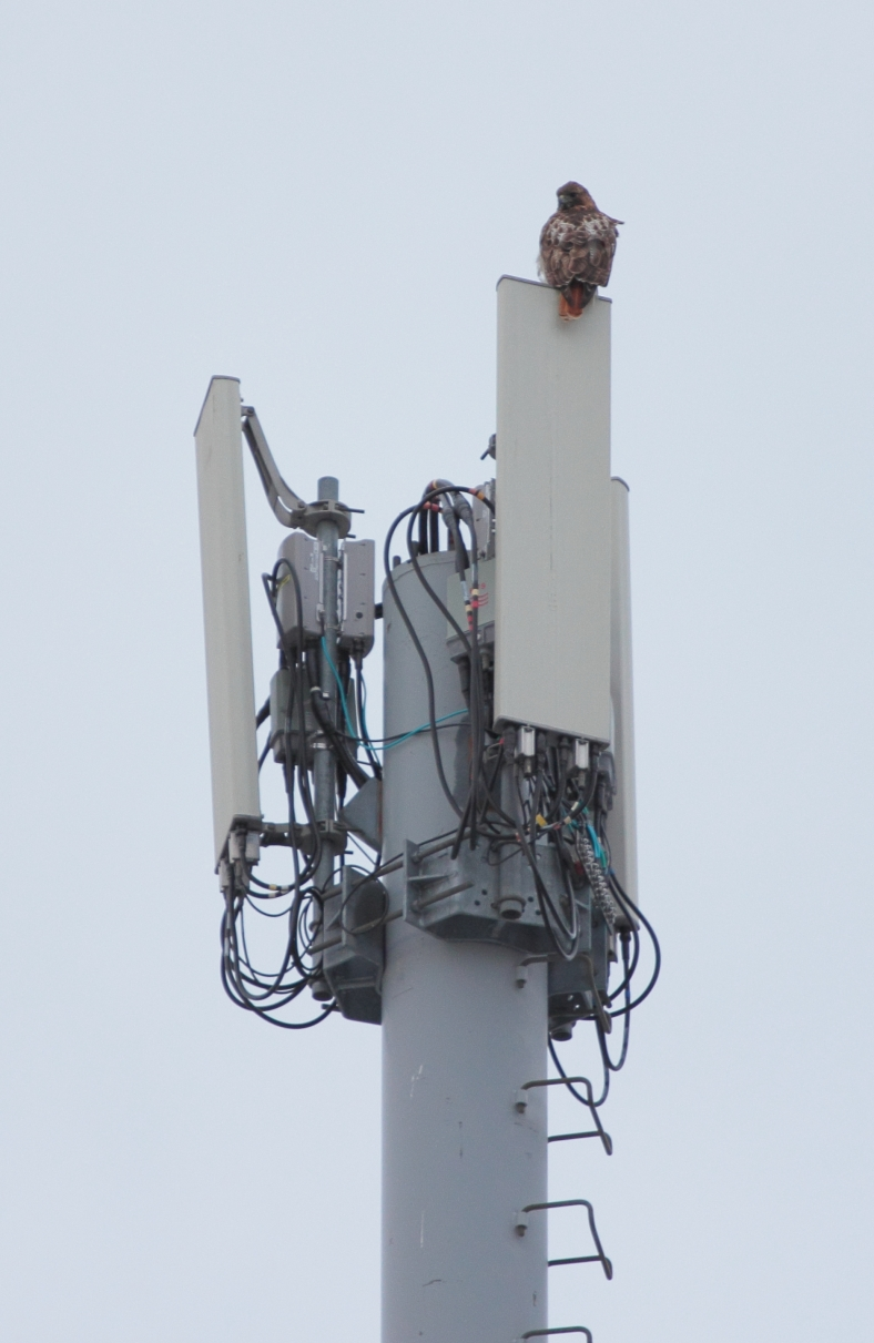 A red-tailed hawk sitting atop a cell tower at the Arlington 360 site spots a photographer with a long lens.February 25, 2013.