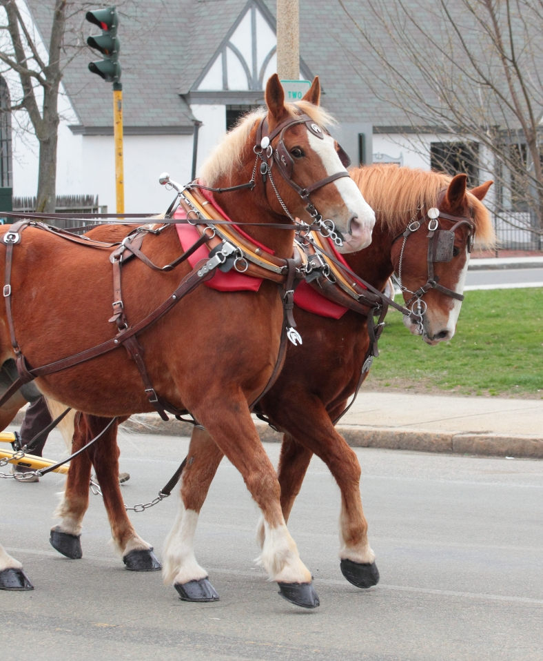 Horses pull the Wells Fargo coach in perfect step with each other during Arlington's Patriots' Day Parade. April 14, 2013.