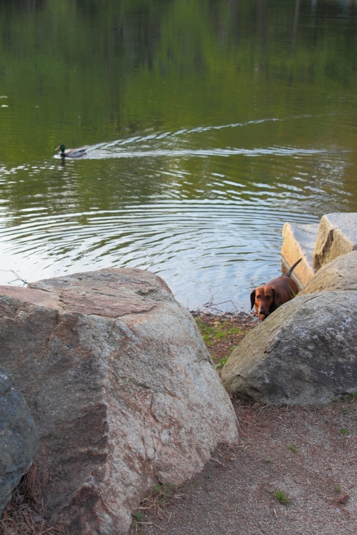 A duck enjoys the calm surface of Hills Pond in Menotomy Rocks Park as a dog enjoys the calm shore. May 11, 2013.