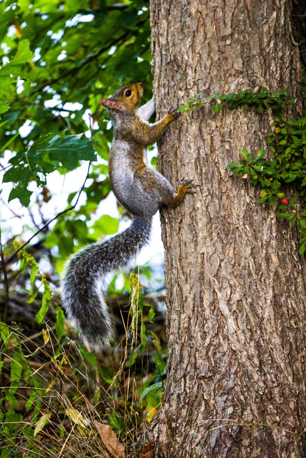 A squirrel runs up a tree next to the Lower Mystic Lake. October 3, 2013.