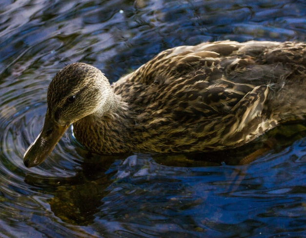 A duck illuminated by the rays of sun shining off of the Lower Mystic Lake. October 3, 2013.