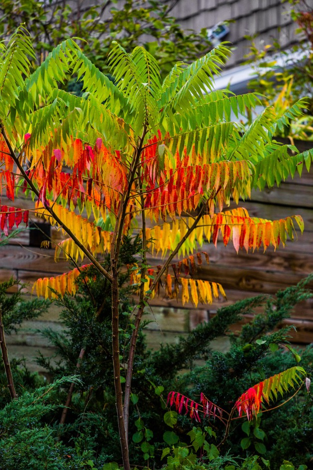 The bright colors of a sumac tree seen along Ridge Street. October 3, 2013.
