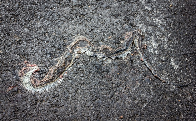 The remnants of a snake pressed into Park Avenue by countless cars. October 22, 2013.