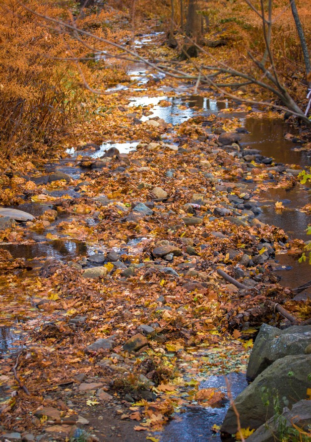 Mill Brook, covered with fallen leaves, as it passes by Brattle Street. November 15, 2013.