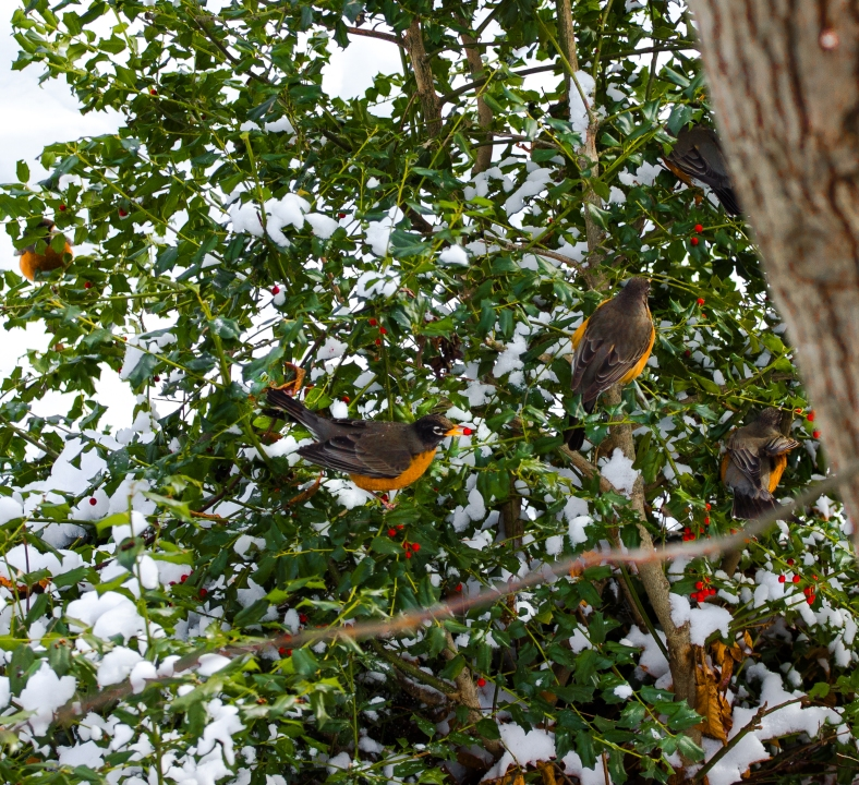 Robins populate a the holly and munch on it's berries on a mid-winter day. January 22, 2014.