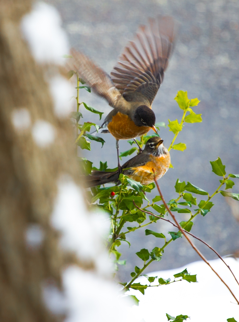 A robin on the wing swoops down over one on the branch. January 22, 2014.