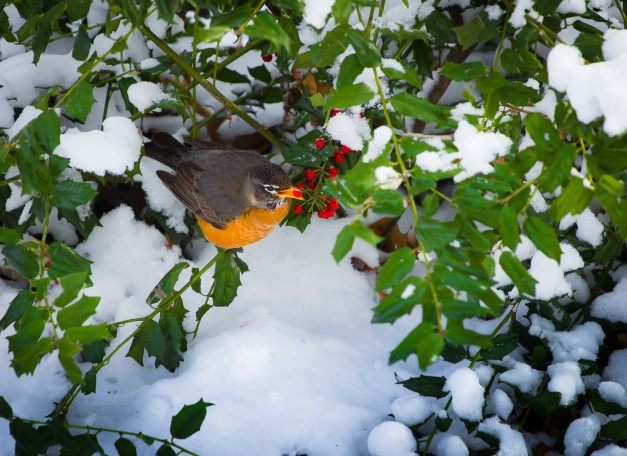 A robin munching on holly berries on a frigid winter day. January 22, 2014.