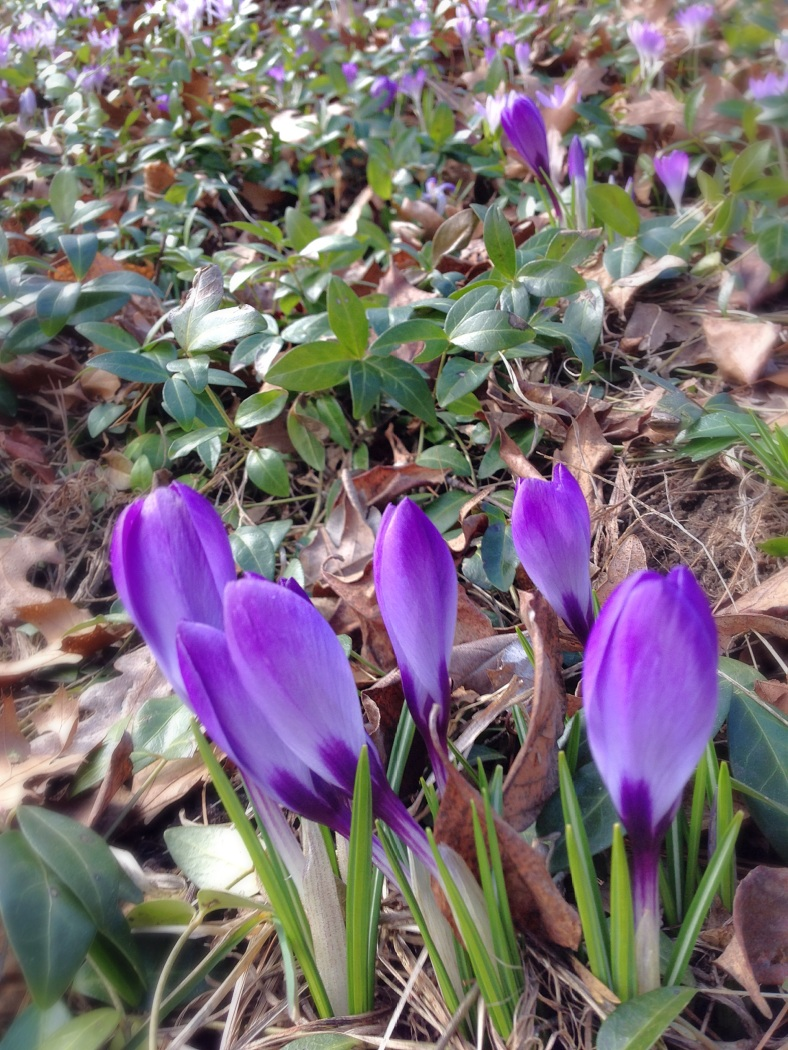Crocuses starting to bloom along Hemlock Street. April 4, 2014.