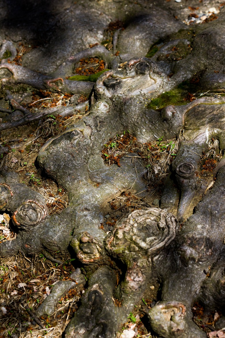 The tangle of roots, hardened from exposure to the elements, belonging to a tree along Lansdowne Road. May 12, 2014.