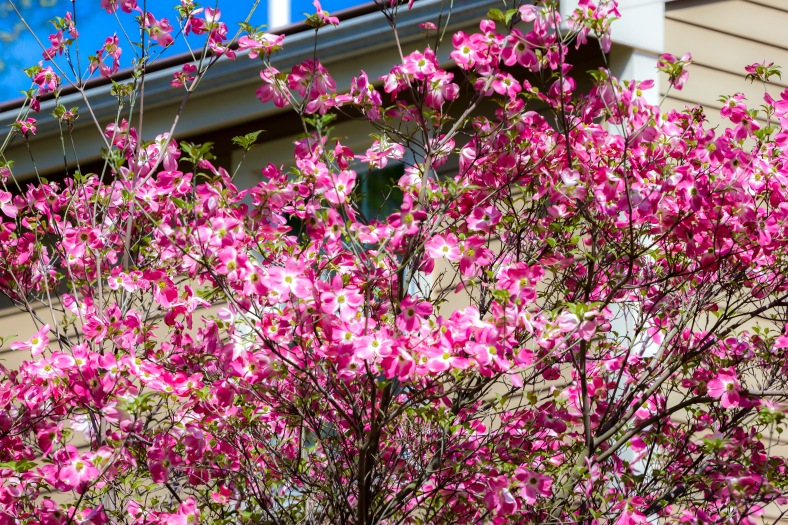 Pink blossoms on a tree along Fabyan Street. May 12, 2014.