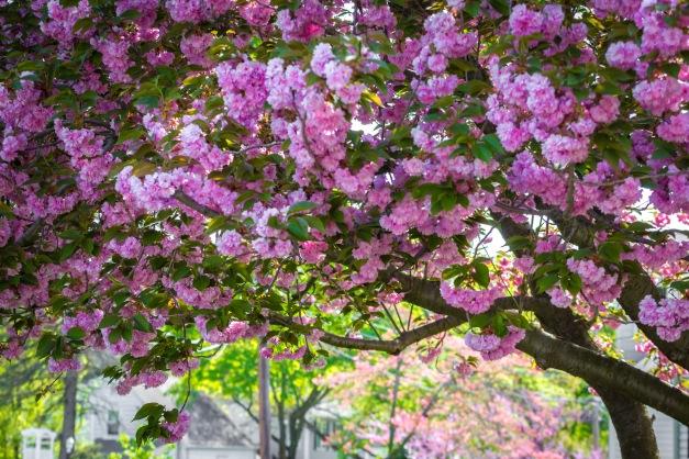 Magenta blossoms on a tree along Oak Hill Drive. May 12, 2014.