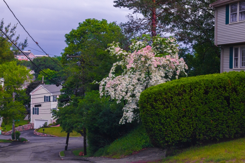 A tree with color changing blossoms on Hemlock Street. June 10, 2014.