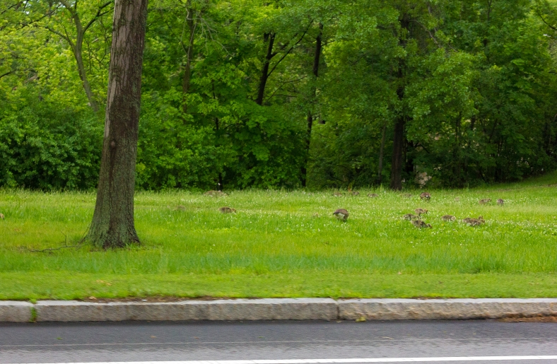 Baby geese feed in the grass along the Mystic Valley Parkway. June 10, 2014.