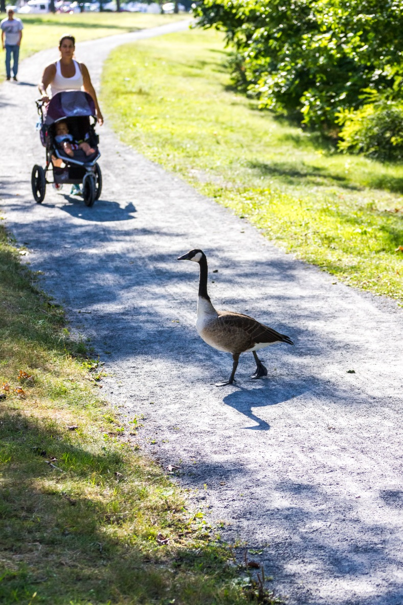 A goose struts across a path along the Mystic River (leaving a small obstacle in the way) as a mother and baby approach. August 8, 2014.