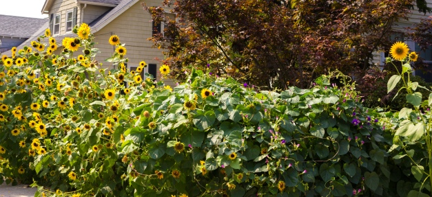 Sunflowers and morning glories on Florence Avenue. August 31, 2014.