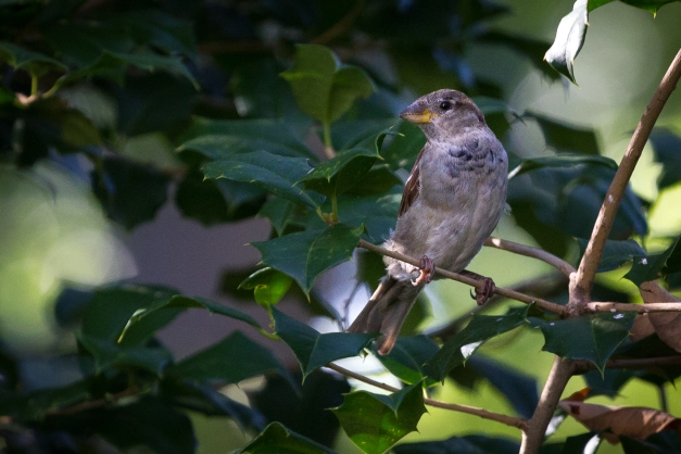 A bird sits in a holly bush keeping careful watch for potential predators before swooping over to the nearby feeder. September 12, 2014.