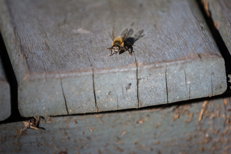 A bee, hampered by the cooler temperatures, crawls to the edge of a stair. September 12, 2014.
