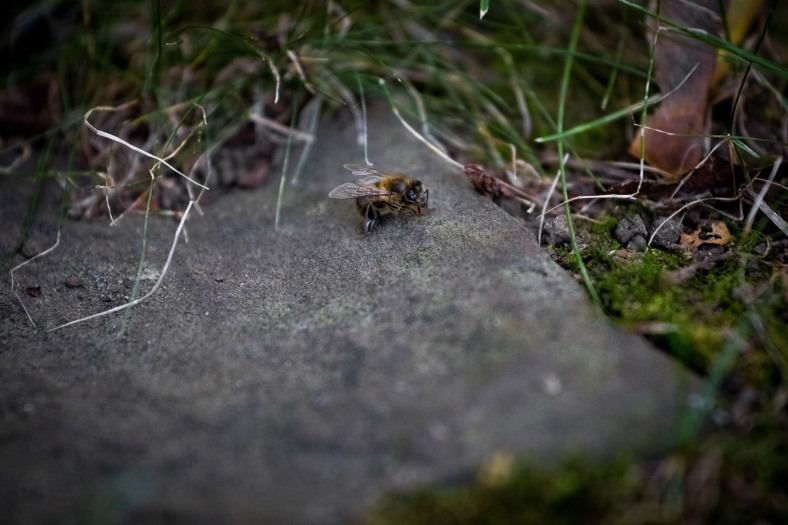 A bee on a flagstone stays still for a photograph as colder temperatures have slowed it to a crawl. September 12, 2014.
