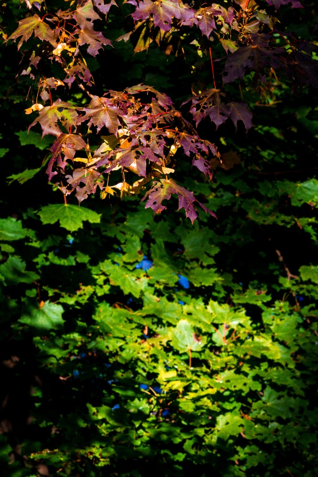 The sun shines bright on leaves containing varying levels of chlorophyll. September 26, 2014.
