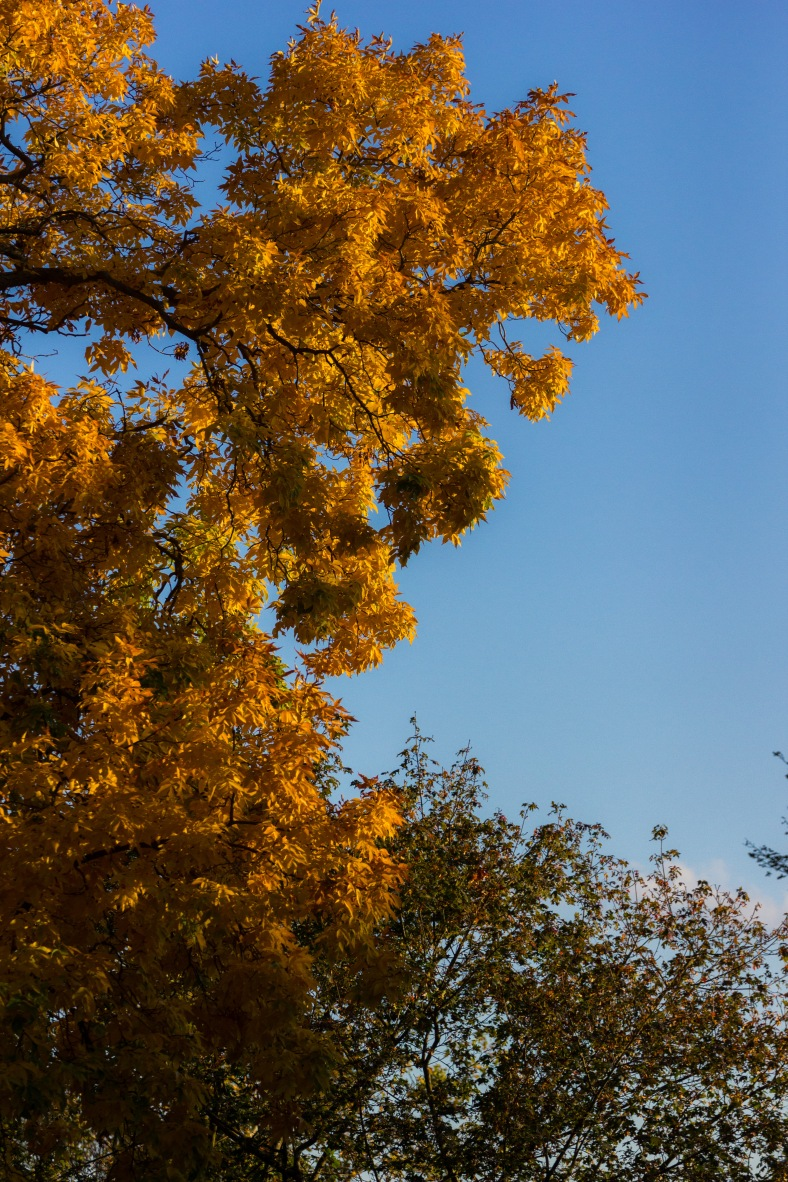 Yellow hickory leaves in the golden afternoon sunlight of an autumn afternoon. October 17, 2014.