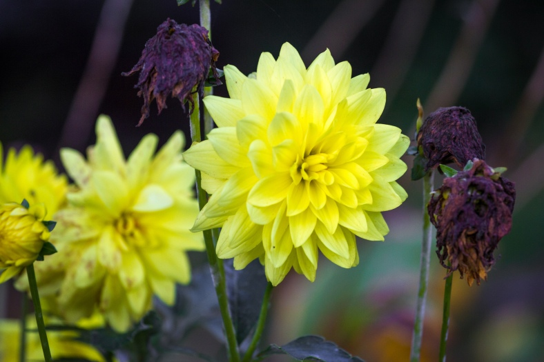 Flowers at various stages of the life cycle in a Washington Street yard. October 17, 2014.