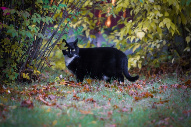 A cat in a Mountain Avenue yard amongst the changing and fallen leaves of autumn. October 17, 2014.