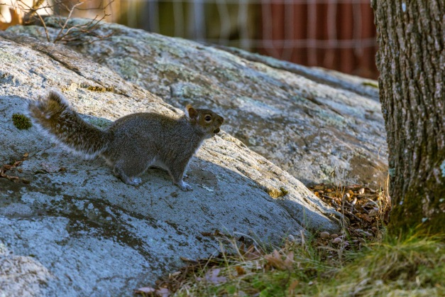 A squirrel scurries across a rock formation in the front yard of an Epping Street home with another nut to add to its winter stash. December 26, 2014.