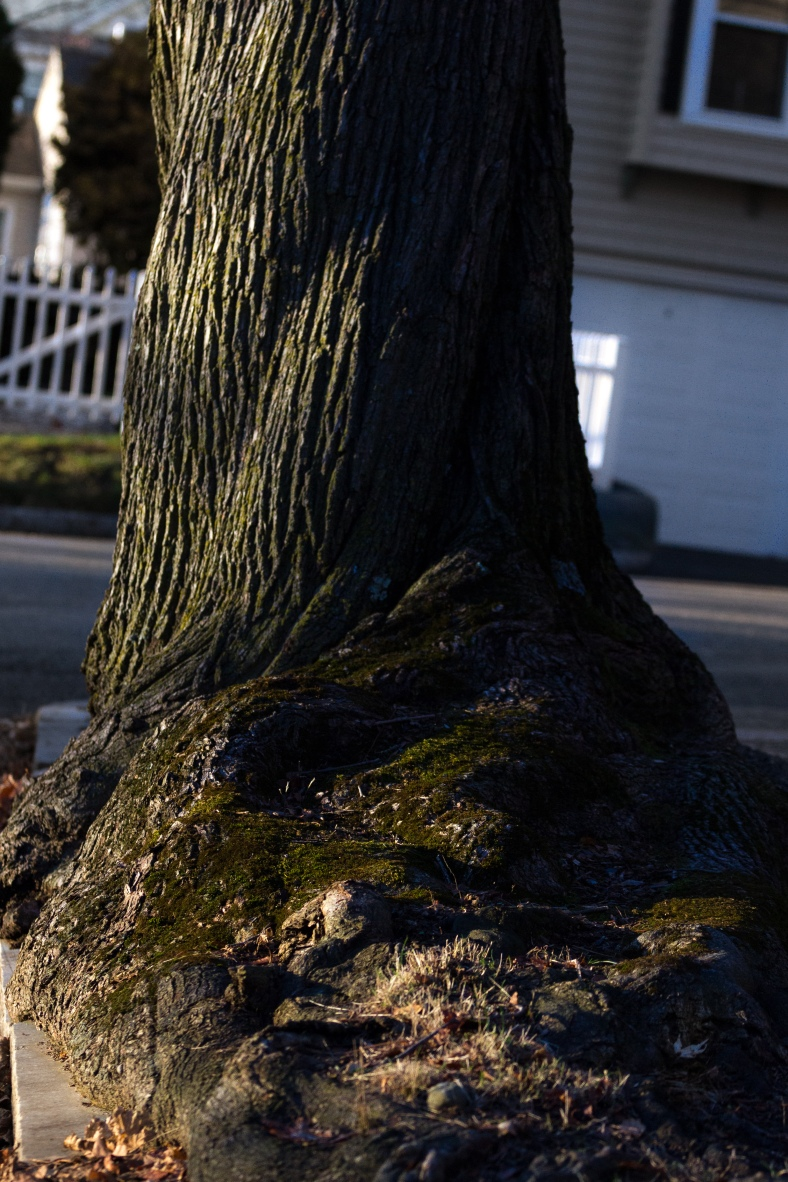 A tree trunk with a distinct spiral and gnarled roots along Pine Street. December 26, 2014