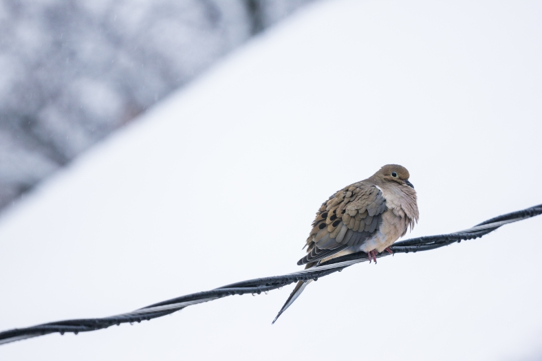 A mourning dove rides out a late January snow perched on a power line. January 24, 2015.