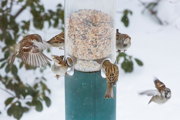 In the midst of a snowstorm, birds fight for space on one of the four perches at a birdfeeder. January 27, 2015