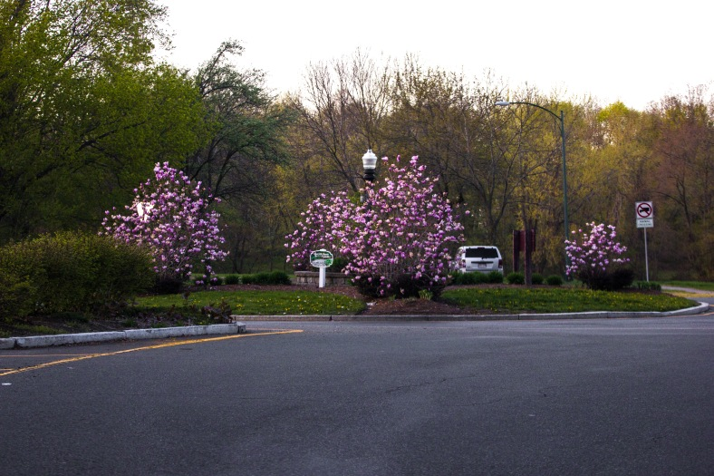 Bushes flower in the center of the rotary along Mystic Valley Parkway. April 28, 2013.