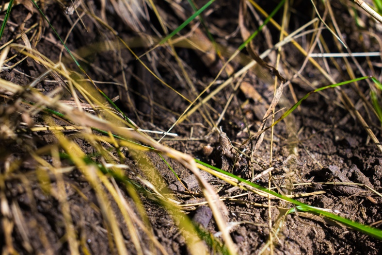 A cricket—or possibly a grasshopper— blended into the mostly dried late summer grass at Hill's Hill. September 11, 2013.