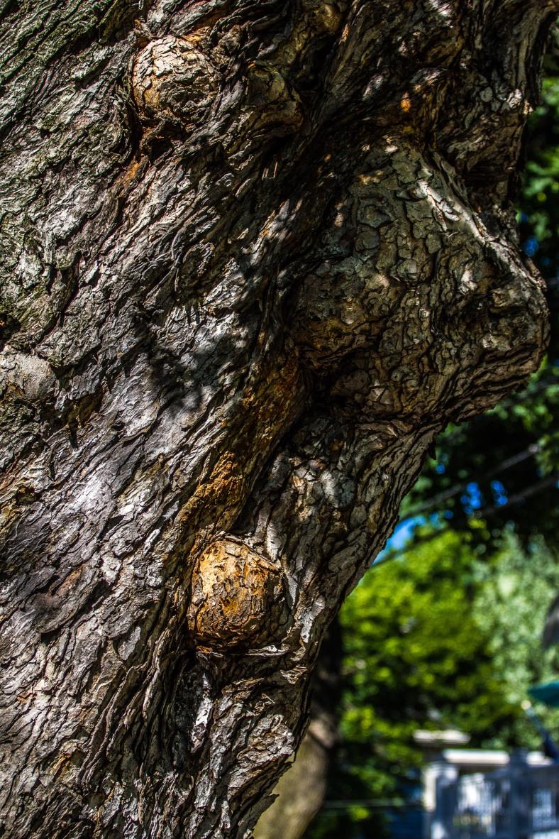 A time-tested tree along Teel Street in East Arlington. June 20, 2014.