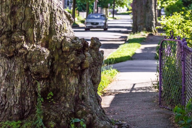 A tree starting to block the sidewalk along Teel Street.  June 20, 2014.