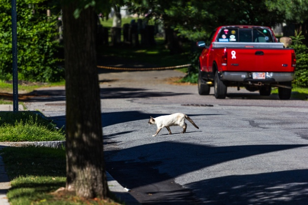A cat crosses Teel Street, no doubt to find some shade, on a hot June day. June 20, 2014.