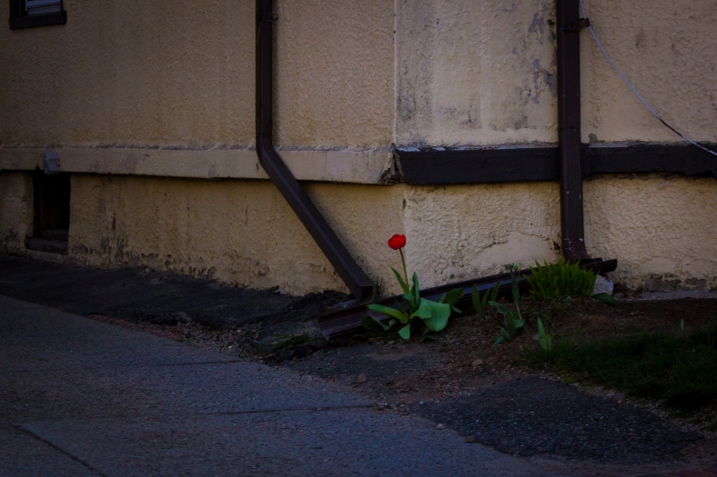 A single flower waiting for its friends at the corner of a Massachusetts Avenue building. May 02, 2015. SC