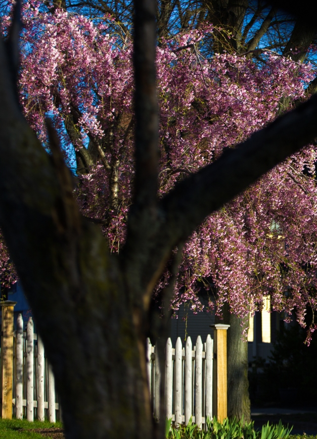 Colorful blossoms on a tree in the afternoon spring sun. May 02, 2015. SC