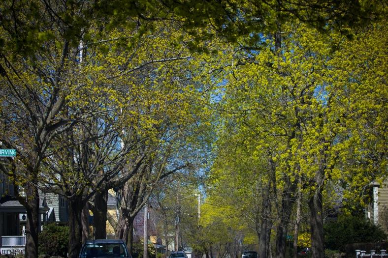 Budding trees along Bartlett Avenue. May 02, 2015. SC