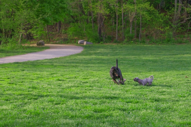 Dogs play in the field at Menotomy Rocks Park. May 10, 2013.