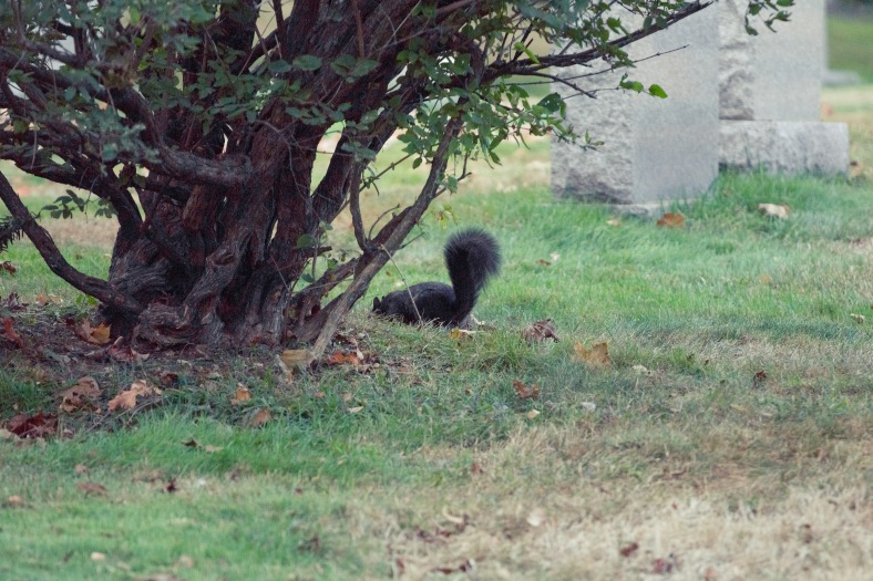 A black squirrel in Mount Pleasant Cemetery. October 03, 2013.