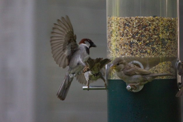 After asserting its position, then dropping the only seed it grabbed, a bird is forced to take wing after being knocked of the feeder perch. July 11, 2015.