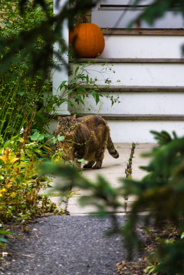 A cat stands alert outside a Pond Lane home. October 04, 2015.