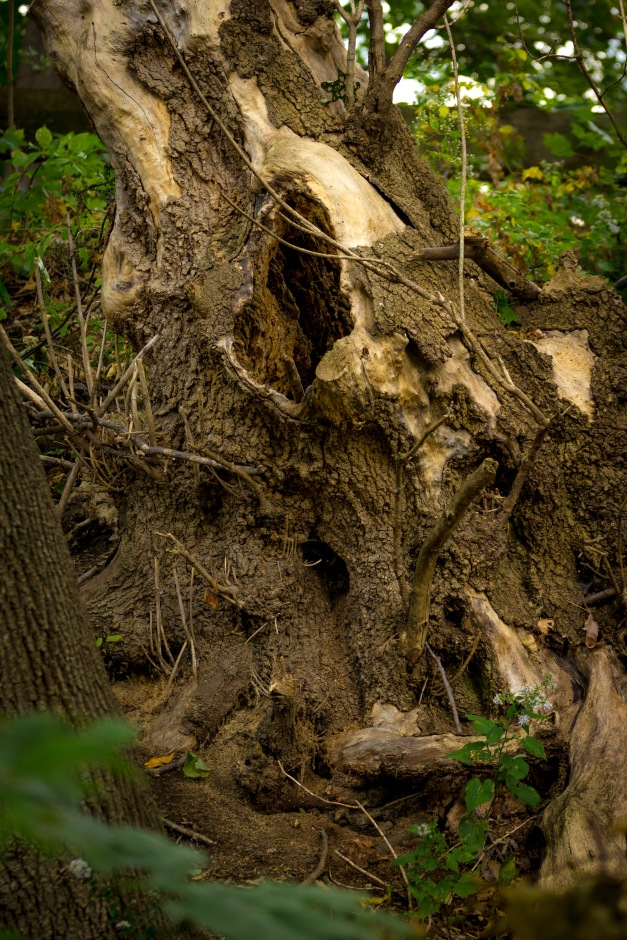 A large tree stump along the embankment of the Minuteman Bikeway/ October 04, 2015.
