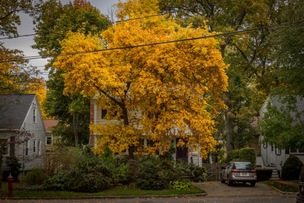 A hickory tree on Fabyan Street with bright yellow foliage. October 22, 2013.