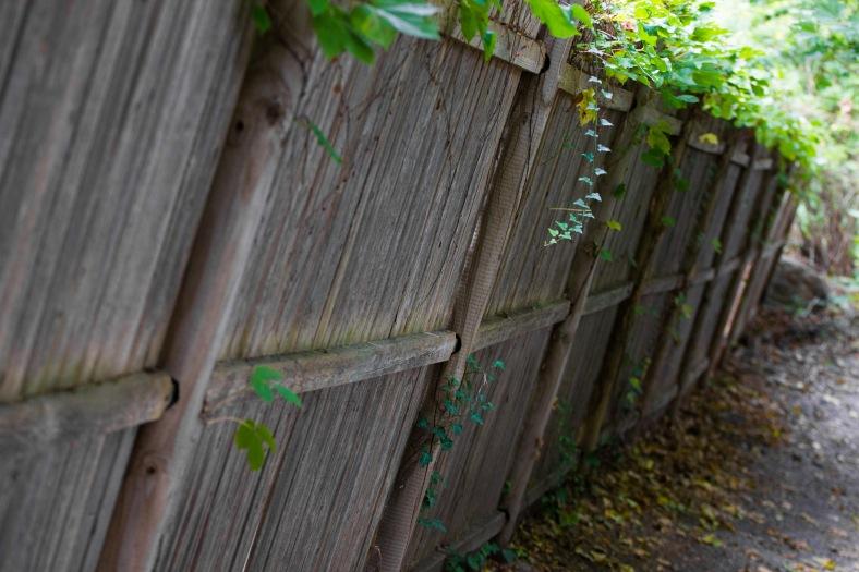 Ivy climbs over a fence along the Minuteman Bikeway. October 04, 2015.