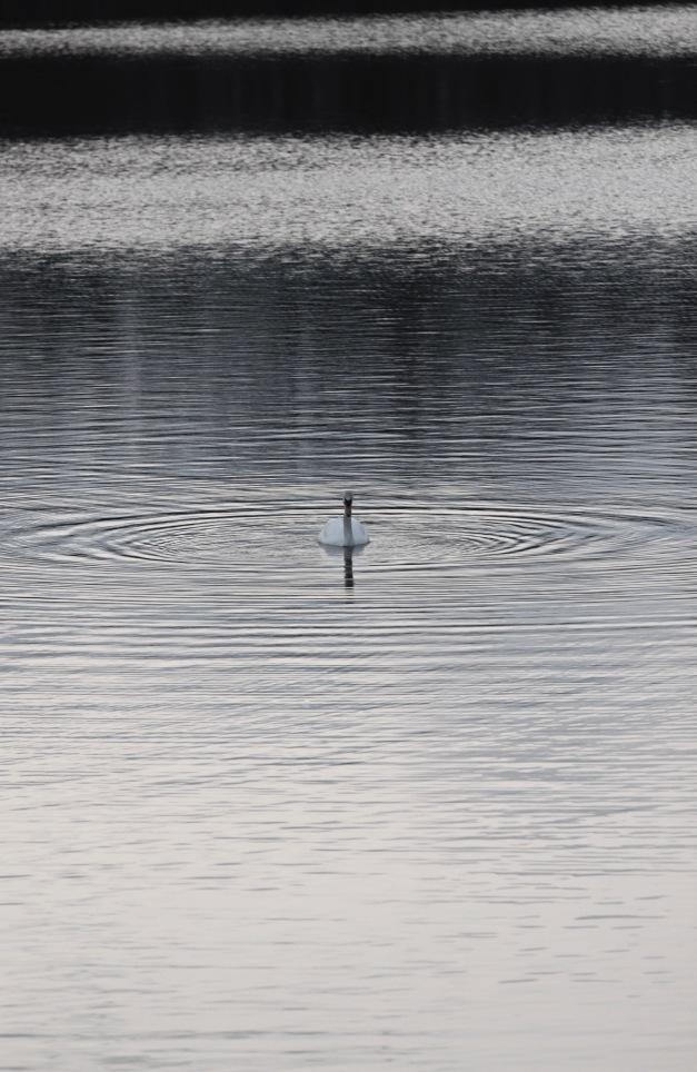 A swan making waves on Arlington Reservoir. March 13, 2012.