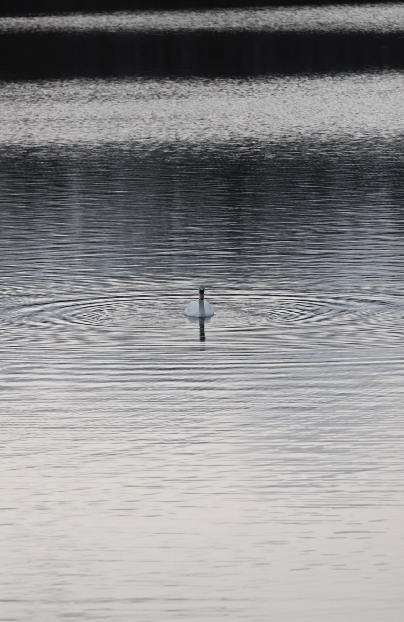 A swan making waves on Arlington Reservoir. March 13, 2012.