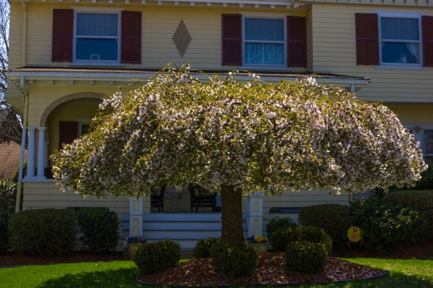 An umbrella-shaped tree starting to bloom in the front yard of a Gray Street home. April 26, 2013.